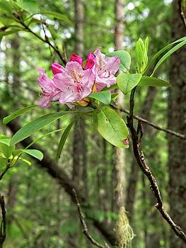 Forest Rhododendron Bloom by Allan Van Gasbeck