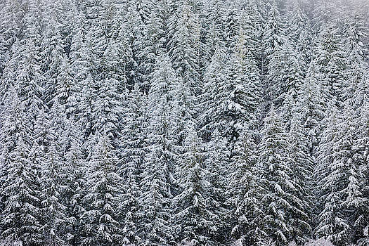 Forest Snow 6 by Brian Knott Photography