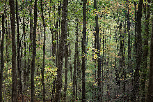 Forest Trees Smoky Mountain  by David Chasey