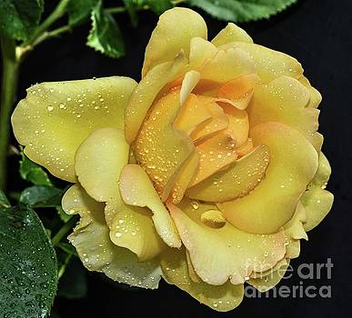 Forever Beautiful Gold Struck Rose  by Cindy Treger