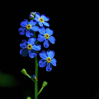 Forget Me Not by Tim Kirchoff
