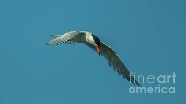 Foster's Tern by Sharon Mayhak