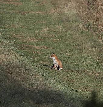 Fox Bsking in the Sun 1 by Paul Ross