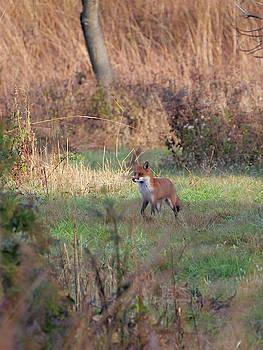Fox in the wild by Paul Ross