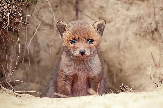 Fox Kit Series - Newborn Fox Baby by Roeselien Raimond
