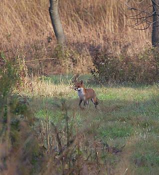Fox on prowl by Paul Ross