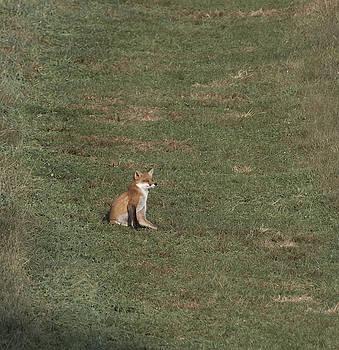 Fox sitting in the Sun 2 by Paul Ross