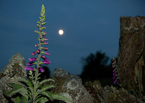 Foxglove and Moon by Helen Northcott