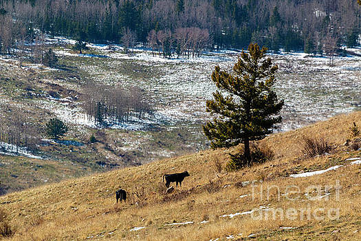 Free Range Calves by Steve Krull