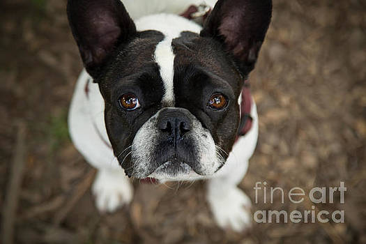 French Bulldog by Jacquie Klose