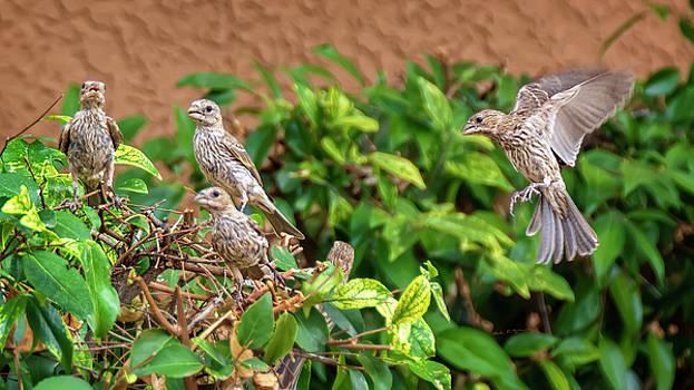 Fresh Finch Flock h1914 by Mark Myhaver