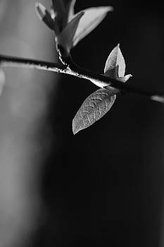 Fresh leaves in spring - monochrome 1 by Ulrich Kunst And Bettina Scheidulin