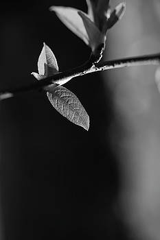Fresh leaves in spring - monochrome 2 by Ulrich Kunst And Bettina Scheidulin