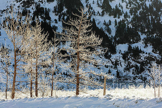 Frost covered trees on the Portage Glacier Highway Alaska by Louise Heusinkveld