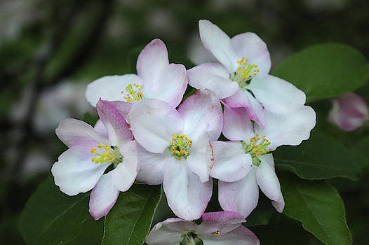 Full Bloom Apple Blossoms by David T Wilkinson