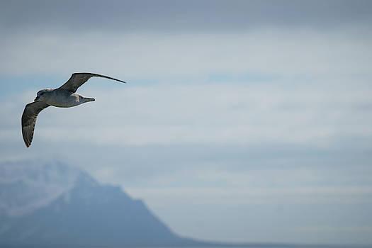 Fulmar against the sky by Kai Mueller