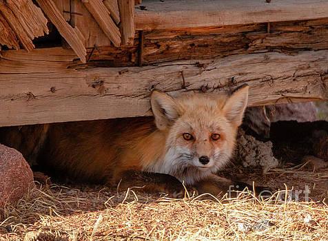 Steve Krull - Furtive Fox
