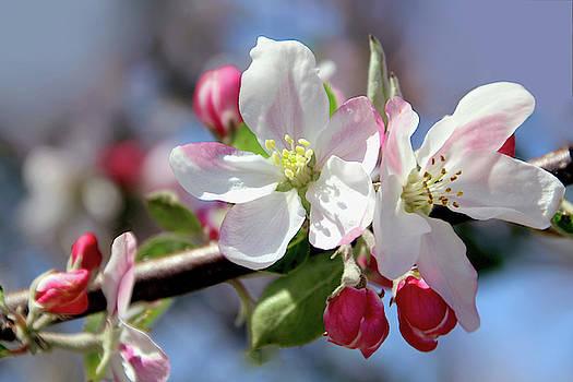 Future Apple of your flower by Debra Orlean