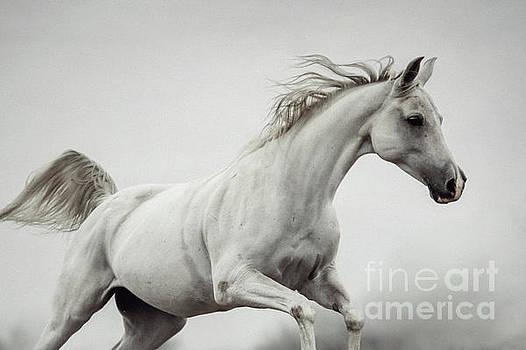 Galloping White Horse by Dimitar Hristov