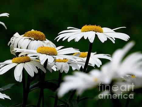 Garden Fresh Daisies by Ella Kaye Dickey