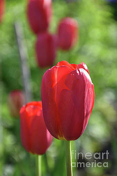 Garden With Flowering Red Tulip Blossoms Blooming by DejaVu Designs