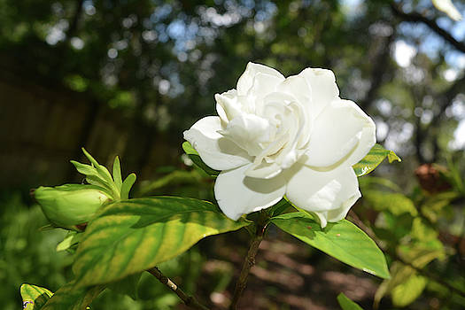 Aimee L Maher ALM GALLERY - Gardenia and Bud
