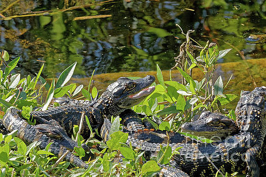 Gator Brood by Natural Focal Point Photography
