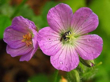 Geranium and the Bee  by Lori Frisch