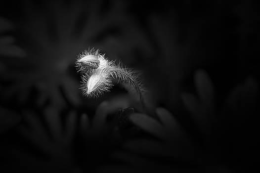 Geranium Sanguineum Buds by Scott Norris