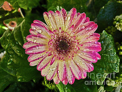 Gerbera Daisy and water droplets 2019_flowers by Howard Stapleton