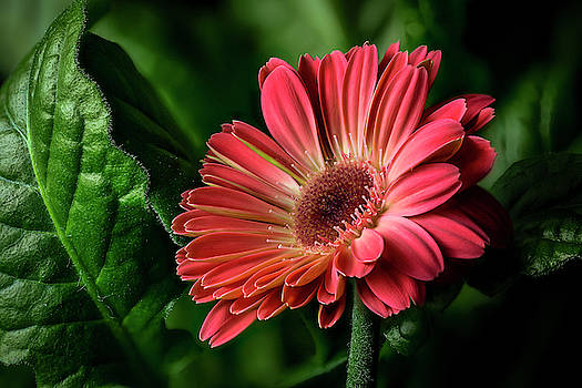 Gerbera Daisy by Fred J Lord