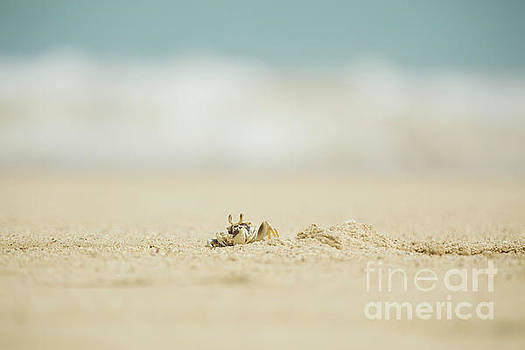 Ghost Crab Digging into Sand - Hawaii by Charmian Vistaunet