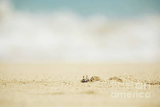 Ghost Crab Emerging from Hole in Sand by Charmian Vistaunet