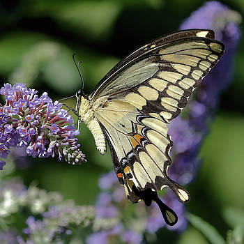 Giant Swallowtail in Profile by Doris Potter
