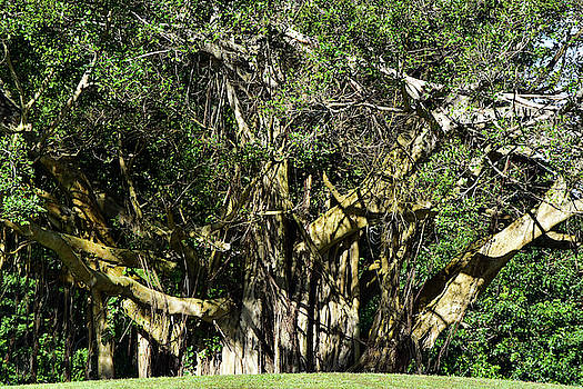 Giant Unkept Banyan by William Tasker
