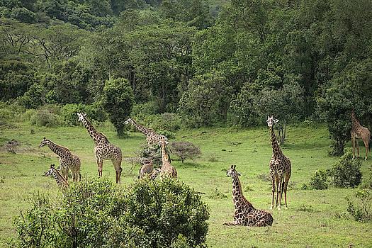 Giraffes in a Jungle Meadow by Mary Lee Dereske