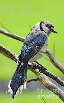 Glamorous Blue Jay by Cindy Treger