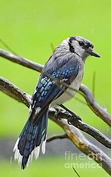 Cindy Treger - Glamorous Blue Jay