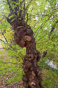 Jenny Rainbow - Gleditsia Horrida Tree