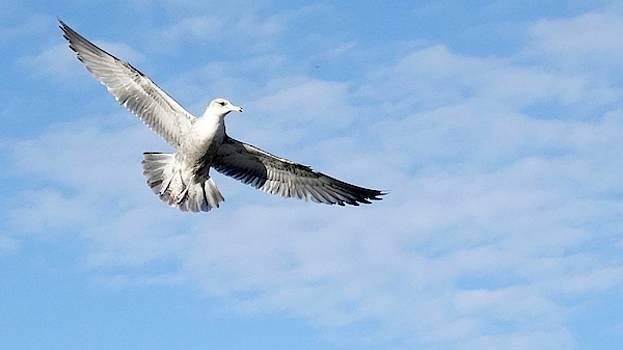 Gliding Seagull by Jan Cipolla