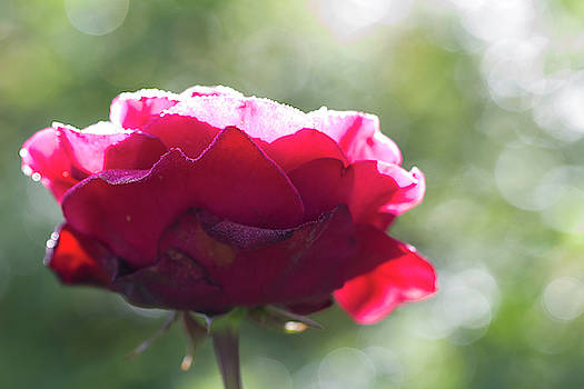 Glistening Dew on Red Rose with Bokeh by Kathy Clark