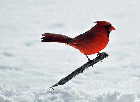 Cindy Treger - Glistening Snow And The Northern Cardinal