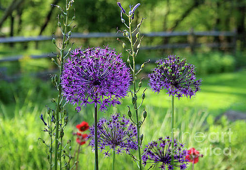 Globe Allium Garden by Karen Adams