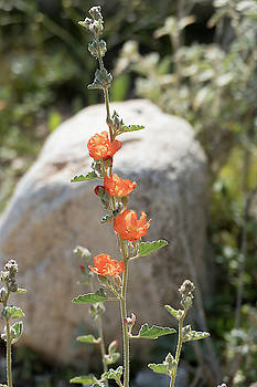 Globe Mallow 1 by Laurel Powell