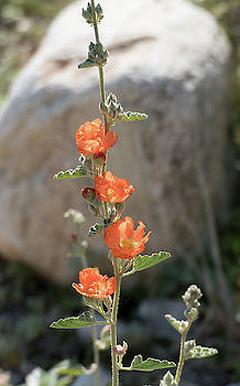 Globe Mallow 2 by Laurel Powell