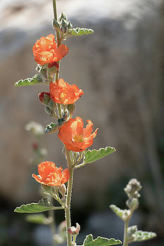 Globe Mallow 3 by Laurel Powell