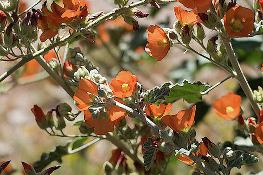Globemallow 1 by Laurel Powell