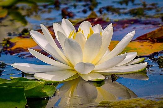 Glorious Water Lily by Susan Rydberg