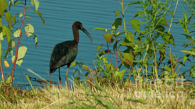 Glossy Ibis by Sharon Mayhak