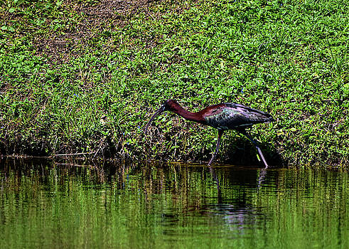 Glossy Ibis Surprise by William Tasker
